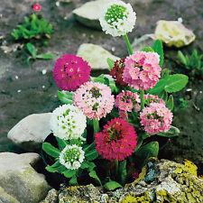 Kings Seeds - Primula Denticulata (Drumstick Primula) - 275 Seeds