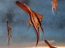5 Manacapura Red Back Angelfish Quarter size