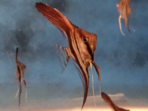 5 Manacapura Red Back Angelfish  aquarium breed Tropical Freshwater Angelfish