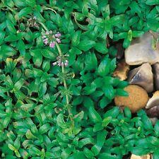 Graines Herbes-Pennyroyal - 10000 graines