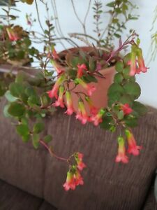 Zimmerpflanze Kalanchoe