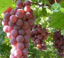 Quality Grapes Seeds Exotic Plants Grape Fruit Bonsai Grapes Garden 10 Pcs