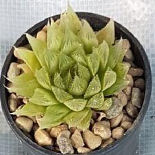 HAWORTHIA VITATA cactus succulent succulents plants