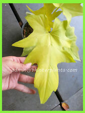 "Very New Philodendron ""Papaya Super Yellow Leaf"" RARE + Free Phyto @@"