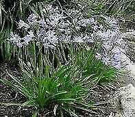 Agapanthus 'Baby Pete' 11cm pot. DWARF. Hardy. National Collection Holders