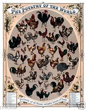 Poultry of the World Portraits of Roosters Chickens & Fowls Art Print / Poster