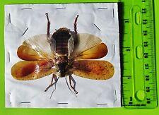 Very Pretty Malaysian Cockroach Spread Blattodea 65-95 mm FAST SHIP FROM USA