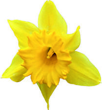 More details for yellow daffodil die cut decals stickers crafting nursery wall window decor art