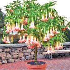 50 pcs Datura stramonium Brugmansia Datura mixed colors seeds