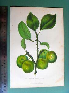 ANTIQUE 1874 Victorian chromolithograph beautiful GREEN GAGE PLUM