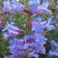 PENSTEMON FLOWER DWARF MIX PERENNIAL DROUGHT TOLERANT HUMMINGBIRD 50 SEEDS USA