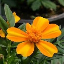 35+ BAMBINO ORANGE AND YELLOW BI-COLOR FRENCH DWARF MARIGOLD ANNUAL FLOWER SEEDS