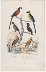 BUFFON. GRAVURE ANCIENNE ~ 1830.   LES OISEAUX. PLANCHE 37.   REF 6960