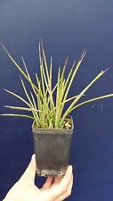 AGAVE STRICTA RUBRA vq  pianta succulenta Succulent plant vaso/pot 7x7x10 cm