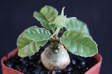 """Dorstenia foetida exotic bonsai caudex rare succulent plant cactus cacti  2"""" pot"""