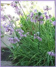 250 ALLIUM Cernuum NODDING ONION Flower Seeds +FreeGift