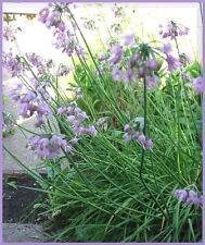 250 ALLIUM Cernuum NODDING ONION Flower Seeds +FreeGift