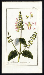 Antique Botanical Print-TEUCRIUM-WOOD SAGE-WOODLAND GERMANDER-Zorn-1796