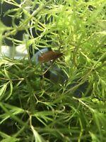 ON SALE Water Plants Guppy Grass Najas Baby fish, fries, shrimps Nano Aquarium.