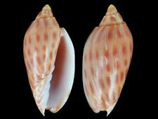 Amoria canaliculata - Shells from all over the World NEW!!!