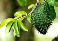 Annona muricata, guanabana soursop live tree fruitplants 3-1/2ft -4 ft.