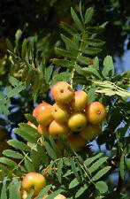 10 Samen Speierling (Sorbus domestica), sehr seltenes heimisches Wildobstgehölz