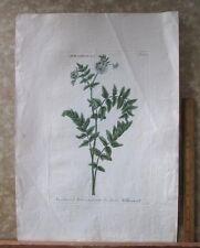 "Vintage Engraving,ANGELICA,C.1740,WEINMANN,Botanical,20x13.5"",Mezzotint"
