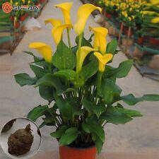 50 pcs yellow Calla Lily seeds CODE 12