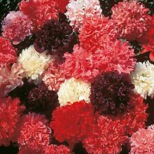 FLOWER POPPY PAEONIFLORUM MIXED COLOURS 4000 SEEDS