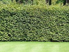 50 Green Beech Hedging Plants 120-150 cm,Copper Autumn Colour 4-5ft Trees