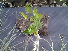 6 pieces of Resurrection fern air plant Spanish moss
