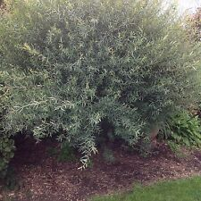 """New listing Two 10-12"""" Potted Blue Arctic Willow Trees Good Roots Beautiful Color"""