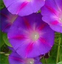 Grandpa Otts Morning Glory - 30 Seeds - i. Purpurea - We combine S/H - Easy!