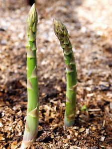 Grüner Spargel Samen Gemüsesamen