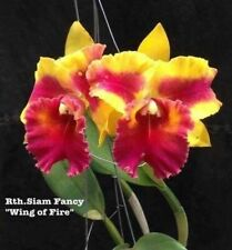 MOS. Orchids Cattleya Rth. Siam Fancy 'Wing of Fire' (mericlone, Advanced size)