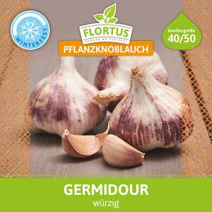 FLORTUS 2000-0350-500g Winterpflanzknoblauch Germidour (500 g) (Pflanzknoblauch)
