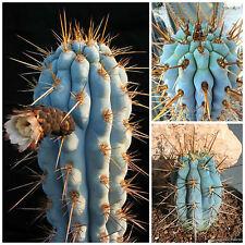 10 semi di Azureocereus hertlingianu ,piante grasse,seeds cactus