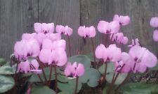 3 outdoor cyclamen coum ,no pesticides or herbicides, pink flowers, £8.99