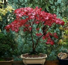 Exotic Red Japanese Maple Bonsai Tree Seeds Shipped From Canada