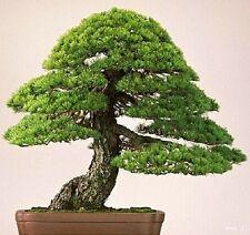 30 Pcs Japanese Pinetree Seeds,Pinus Thunbergii Seeds,Bonsai Seeds