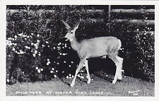 Mule Deer JASPER PARK Alberta Canada 1930-60 Harry Rowed Real Photo Postcard 166