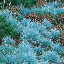BLUE FESCUE ORNAMENTAL GRASS SEEDS COMPACT POT PATIO FESTUCA GLAUCA 150 SEEDS