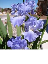 A Beautiful Lavender Tall Bearded Iris Rhizome/Beautiful Flowers