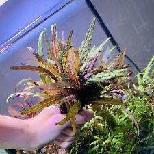 Hygrophila Pinnatifida - BUY3GET1FREE - Live Aquarium Plant