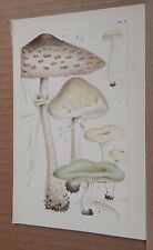 Antique Print British Edible Fungi 1891 Colour  Lithograph 7.5  x 5 inches v10
