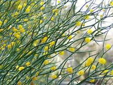 Rock Wattle (Acacia Rupicola) 30 Fresh seeds