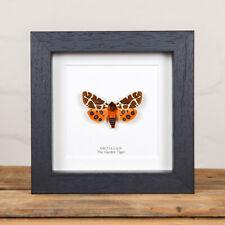 The Garden Tiger Moth in Box Frame (Arctia caja)