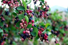 Snowy Mespilus, Serviceberry (Amelanchier ovalis) x 10 seeds Ask for comb post