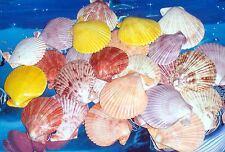 FIVE (5) POLISHED PECTEN NOBILIS SINGLE SEA SHELLS  BEACH NAUTICAL DECOR CRAFT