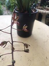 orchid cymbidium canaliculatum